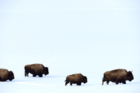 LIMITED EDITION Bison (Bison bison) in the snow, Wyoming, USA