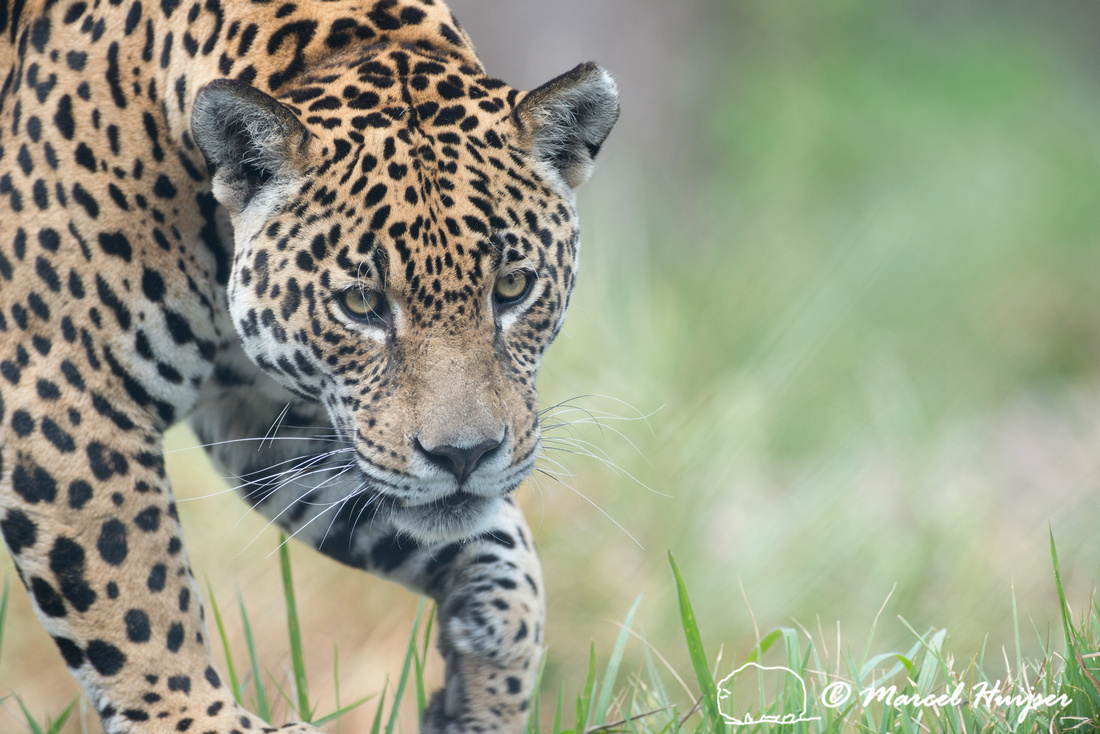 Captive jaguar (Panthera onca), fazenda Vera Lúcia, Rio Negro,