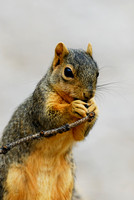 Eastern fox squirrel (Sciurus niger), Missoula, Montana, USA
