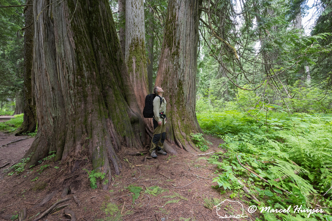 Marcel Huijser looks up to the western red cedars (Thuja plicata