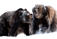 Grizzly bears (Ursus arctos) wrestling in the snow, Montana, USA (captive animals)