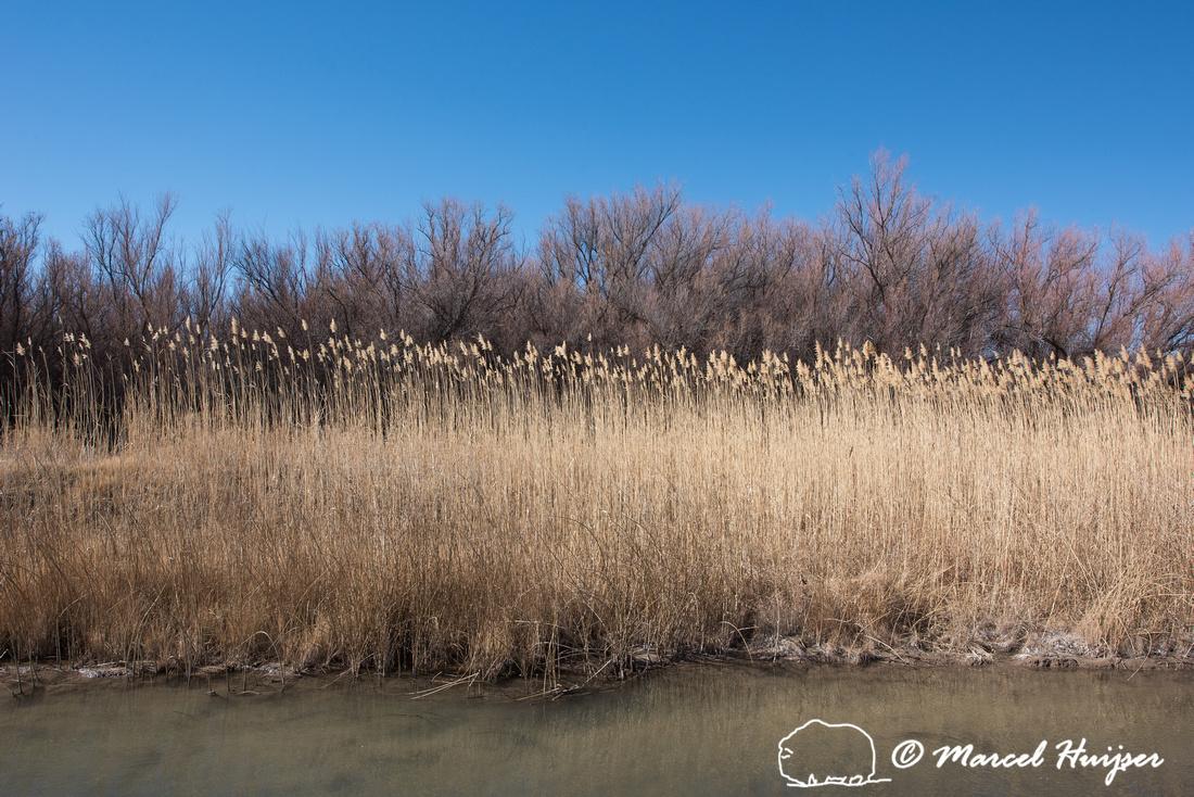 Reed and trees, Bernardo Wildlife Area, New Mexico, USA