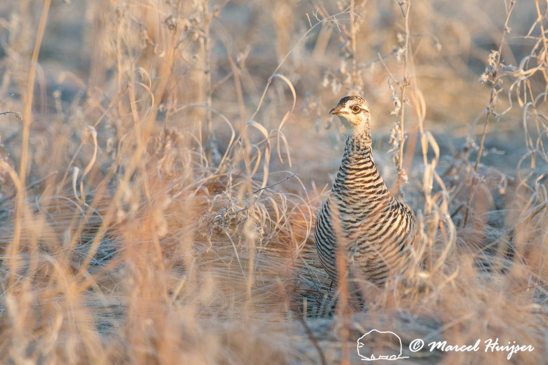 Greater prairie chicken (Tympanuchus cupido), Valentine National
