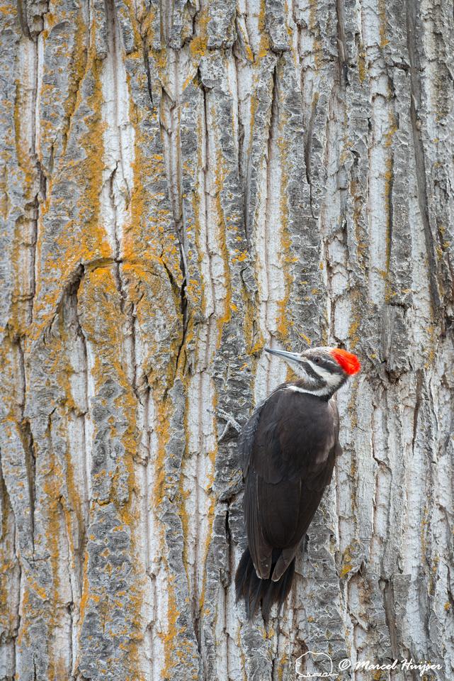 Pileated woodpecker (Dryocopus pileatus), Montana, USA