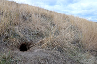 Burrow occupied by a North American porcupine (Erethizon dorsatum), Montana, USA