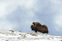 Muskox (Ovibos moschatus) in winter, Dovrefjell National Park, Norway