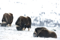 Muskoxen (Ovibos moschatus) grazing and ruminating, Dovrefjell National Park, Norway