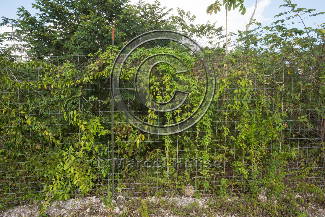 Wildlife fence with vines along Nuevo Xcan-Playa Del Carmen high