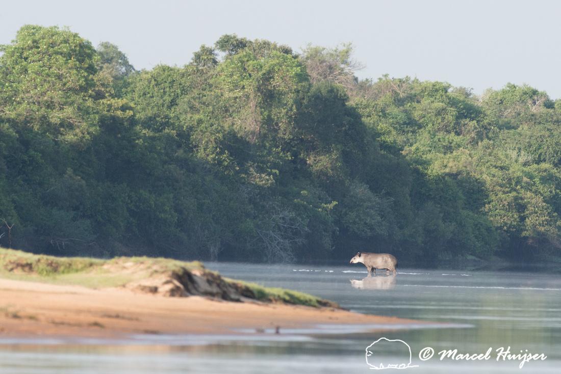 South American tapir (Tapirus terrestris), Rio Negro, Pantanal,