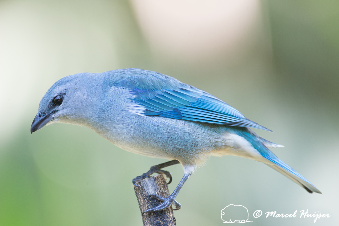 Azure-shouldered tanager (Thraupis cyanoptera), São Paulo, Braz