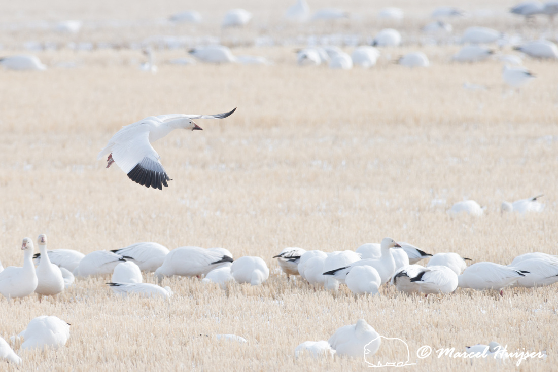 Snow geese (Chen caerulescens) migration, Montana, USA