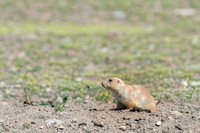 Black-tailed prairie dog (Cynomys ludovicianus), Greycliff Prair
