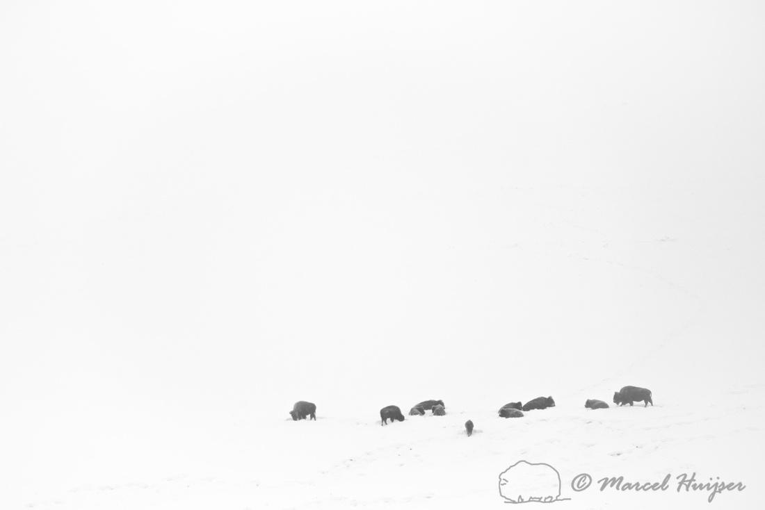 Bison (Bison bison) in snowy landscape, Montana, USA