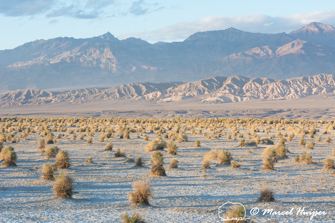 Devil's Cornfield (arrowweed, (Pluchea sericea), Death Valley Na