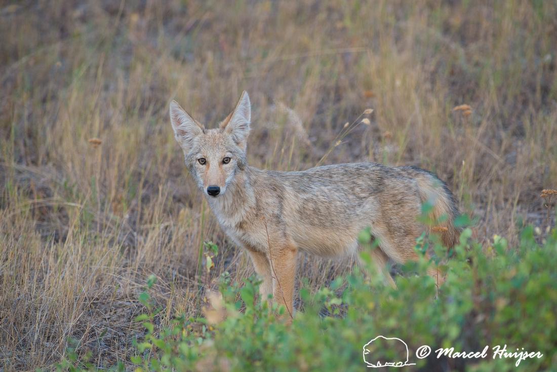 Coyote (Canis latrans), Montana, USA