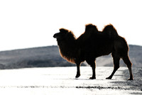Domesticated Bactrian camel (Camelus bactrianus) crossing the road, Gobi, Mongolia
