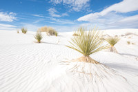 Soaptree yucca(Yucca elata), White Sands National Monument, New