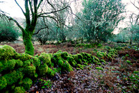 Stone wall with mosses in native oak woodland, Killarney National Park, Ireland
