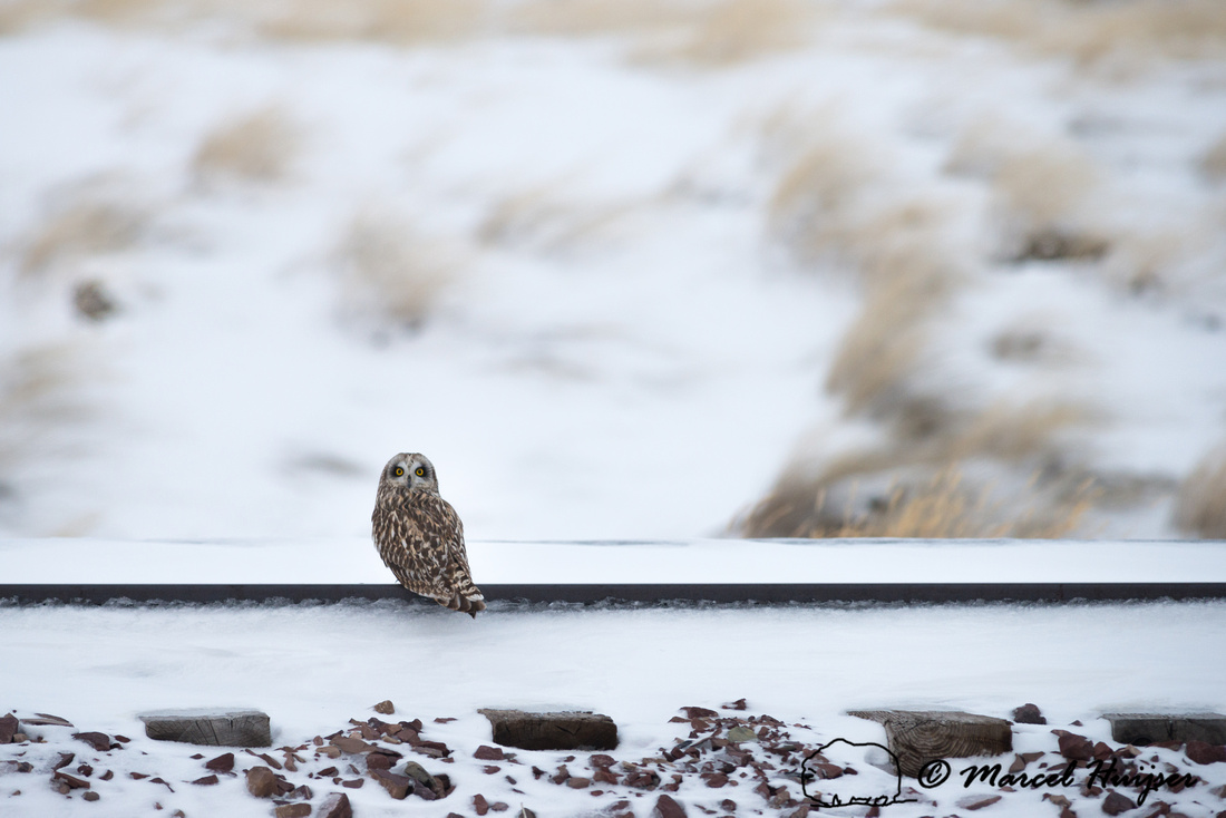 Short-eared owl (Asio flammeus), Montana, USA