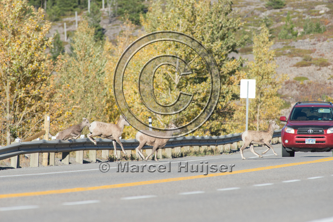 Bighorn sheep (Ovis canadensis) on and along highway at a fence