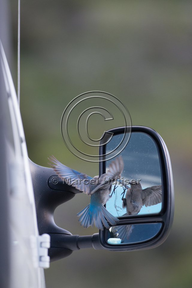 Female mountain bluebird (Sialia currucoides) fighting its own r
