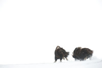 Muskoxen (Ovibos moschatus) running in snow, Dovrefjell National Park, Norway