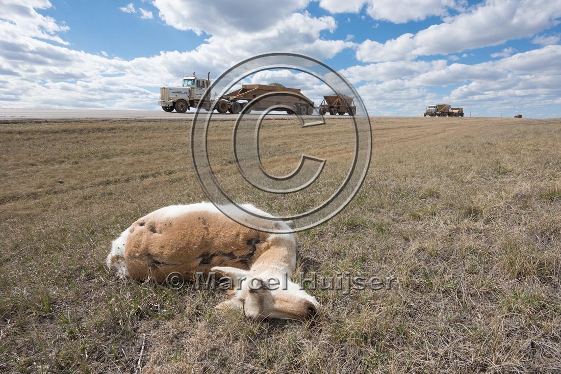 Pronghorn, (Antilocapra americana) roadkill, Wyoming, USA