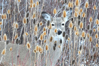 LIMITED EDITION White-tailed deer (Odocoileus virginianus) looking through Fuller's Teasel (Dipsacus fullonum), Montana, USA