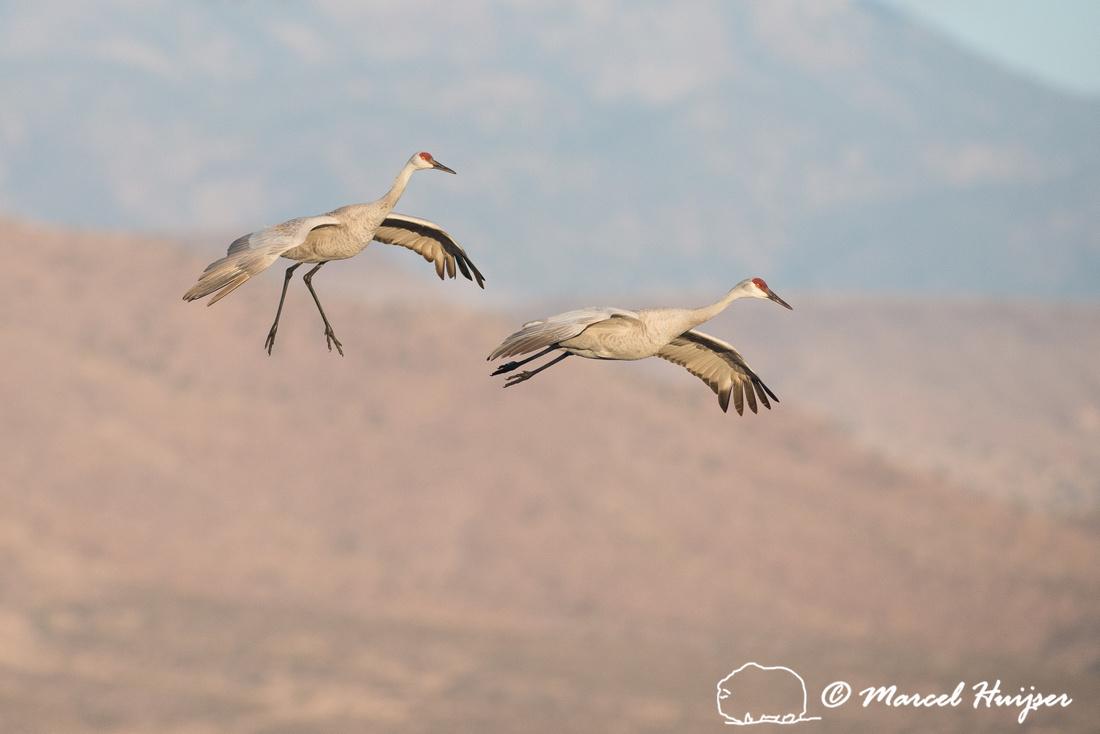 Sandhill cranes (Grus canadensis) at dawn, Bosque del Apache Nat