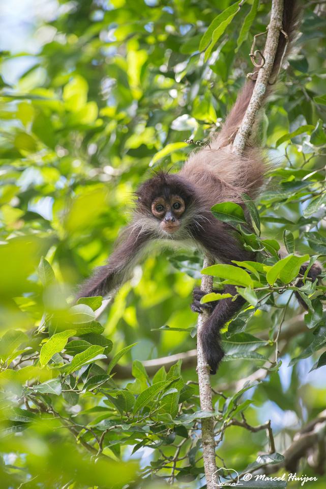 Yucatán Spider Monkey (Ateles geoffroyi ssp. yucatanensis)