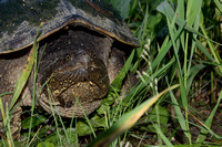 Common snapping turtle (Chelydra serpentina) leaves roadside after laying eggs along highway 49, Horicon Marsh, Wisconsin, USA