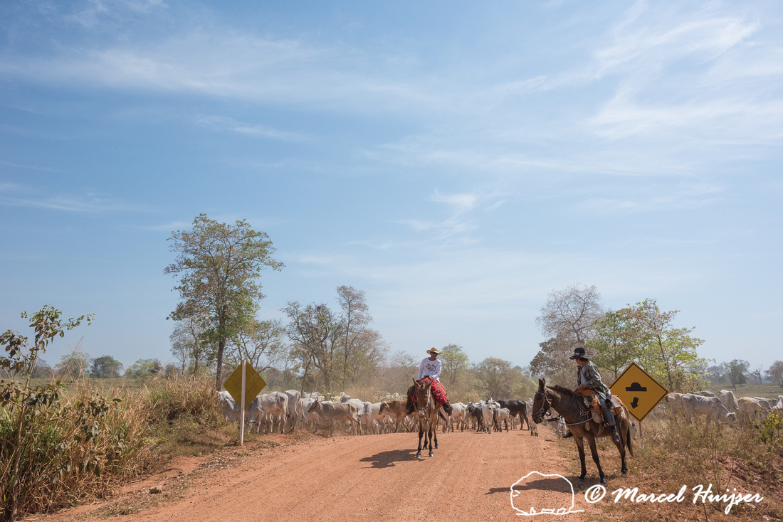 Cattle drive between Aquidauana and Barra Mansa along Rio Negro,