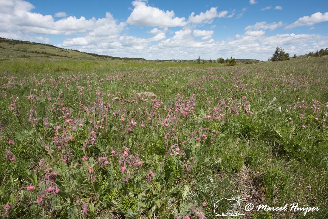 Prairie smoke  (Geum triflorum), Montana, USA