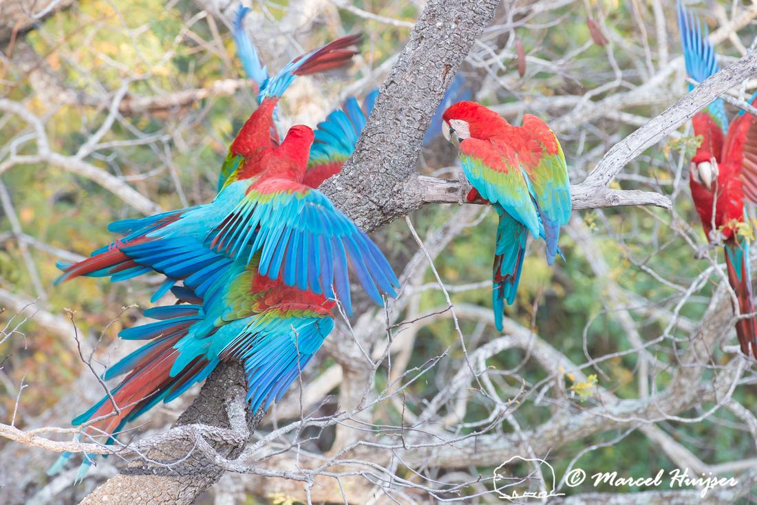 Red-and-green macaw (Ara chloropterus), Mato Grosso do Sul, Braz