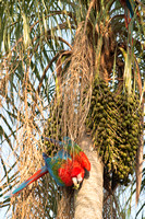Red-and-green macaw (Ara chloropterus), Mato Grosso do Sul, Braz