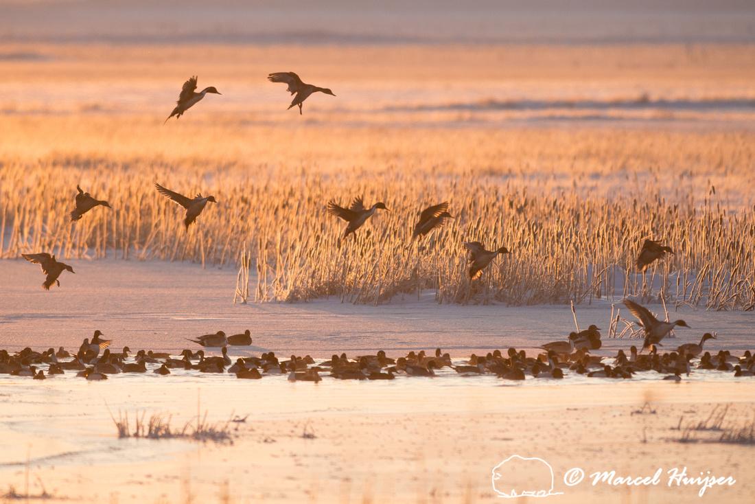 Northern pintail (Anas acuta) migration, Montana, USA