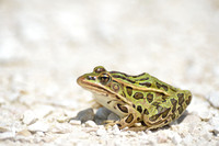 Northern leopard frog (Lithobates pipiens), Horicon Marsh, Wisconsin, USA
