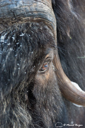 Detail of Muskox  (Ovibos moschatus) in winter, Sweden, captive