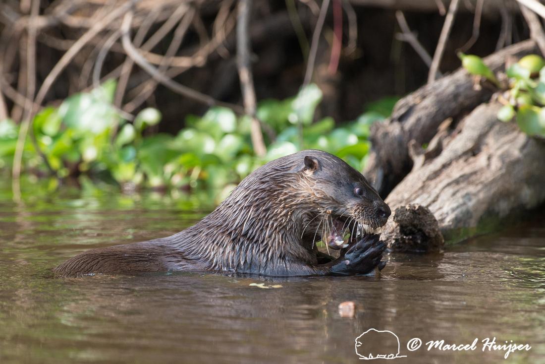 Neotropical river otter (Lontra longicaudis), Rio Negro, Pantana