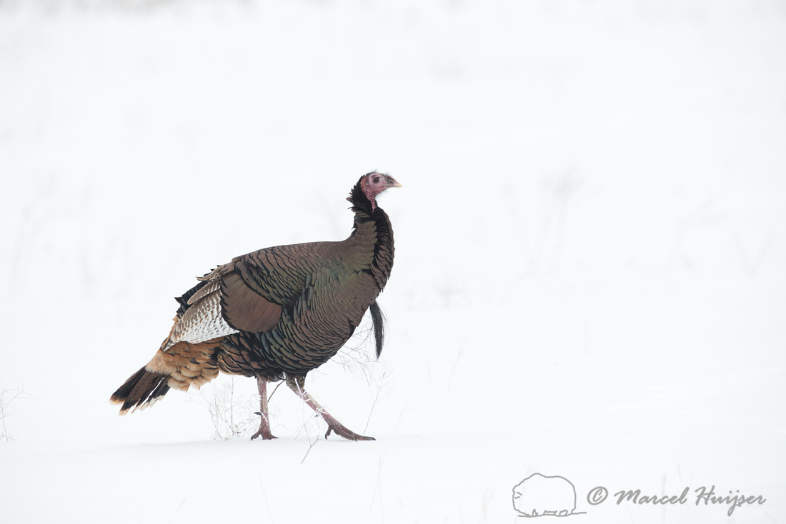 Wild Turkey (Meleagris gallopavo) in the snow, Montana, USA
