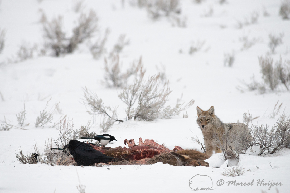 Coyote (Canis latrans) on elk carcass, Wyoming, USA