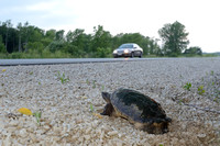 Common snapping turtle (Chelydra serpentina) laying eggs along highway 49, Horicon Marsh, Wisconsin, USA