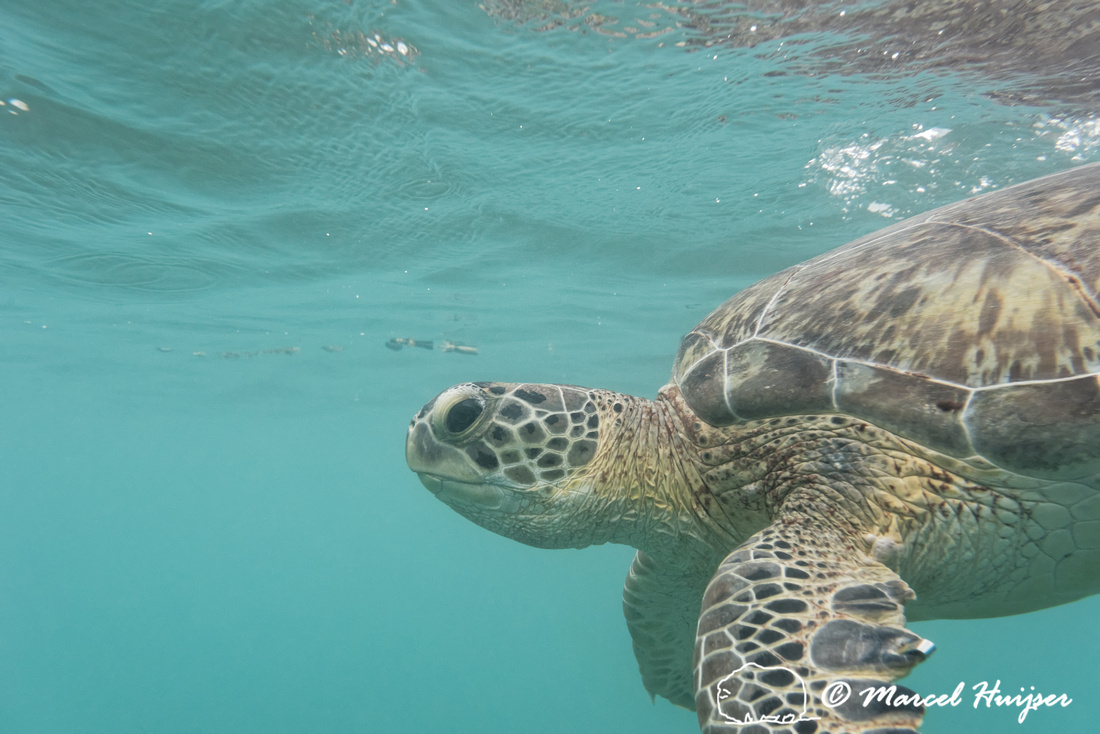 Green sea turtle (Chelonia mydas), Yucatán, Mexico