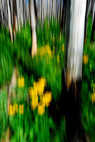 Burned forest in field with yellow flowers, Bob Marshall Wilderness, Montana
