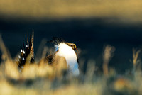 Male sage grouse (Centrocercus urophasianus) in a lek and displaying, near Bannack, Montana, USA