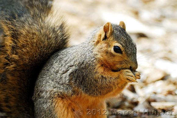 ... usa eastern fox squirrel sciurus niger missoula montana usa copyright