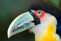 Red-breasted Toucan or Green-billed Toucan (Ramphastos dicolorus
