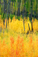 Aspen (Populus tremuloides) in fall colors, Montana, USA