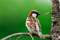 House sparrow (Passer domesticus), Missoula, Montana, USA