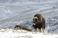 Muskox (Ovibos moschatus), Dovrefjell National Park, Norway